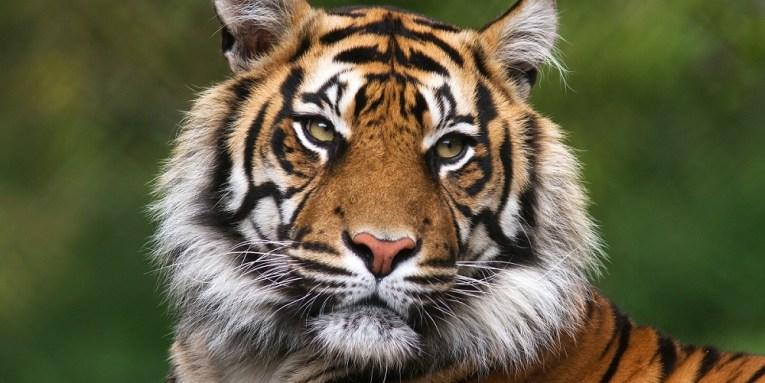 Tigre en Disneyland París