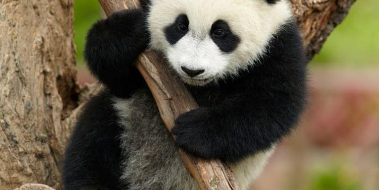 Osos Panda Chistosos Jugando En Un Zoológico Ver Video Entérate