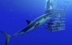 buceo en jaula con tiburones blancos