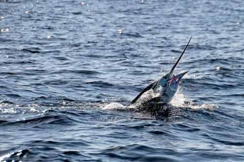 Los Cabos Razones para Visitarlo y Practicar La Pesca Deportiva. Los Cabos pesca de marlin