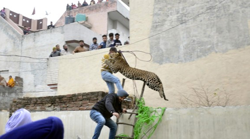 Videos de un ataque de un leopardo en la India mientras intentaba rescatarlo