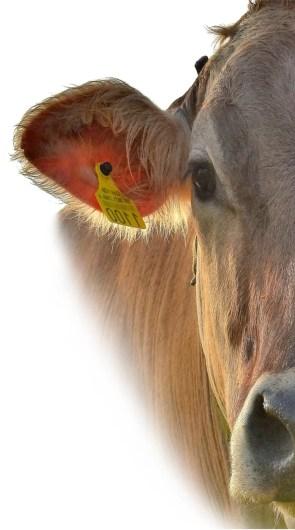smart livestock farming