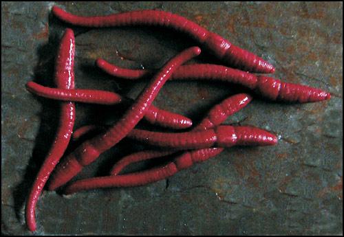 ET61 worms