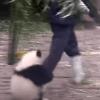 【動画】くっついて離れない~!赤ちゃんパンダが飼育員に「相手して欲しい」とまとわりつく|珍事件・ハプニングレポート