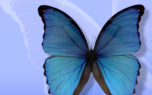 amazing blue color butterfly