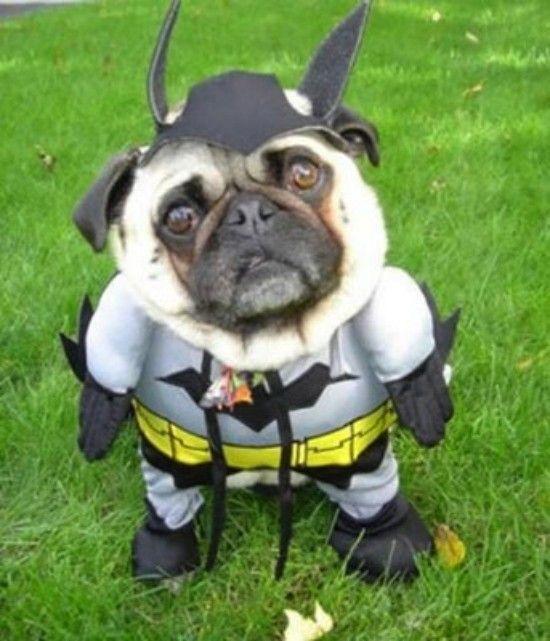 bat dog costume funny pic