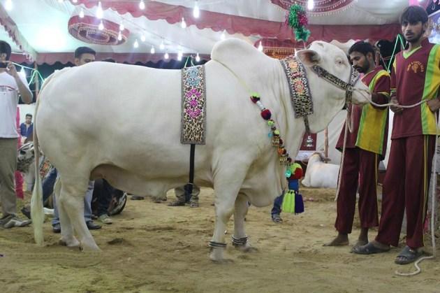 Bakra Eid hq image