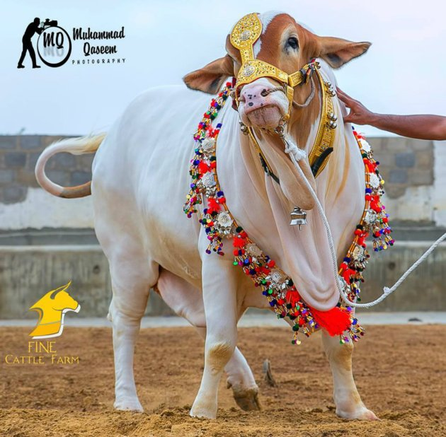 Big Bull Eid Ul Adha hd 2015 wallpaper