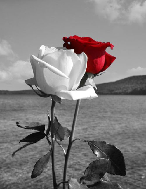 beautiful red and white rose picture