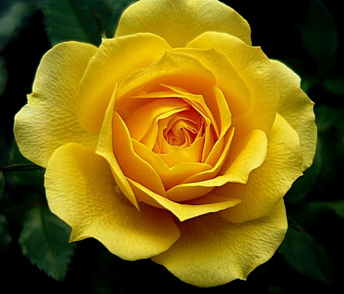 30 Beautiful And Romantic Pictures Of Rose Flower