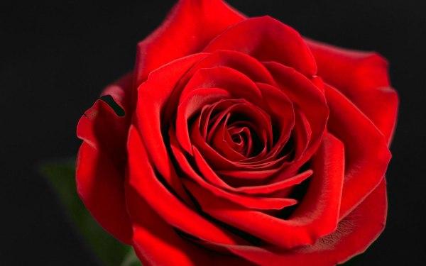 deep-red-rose
