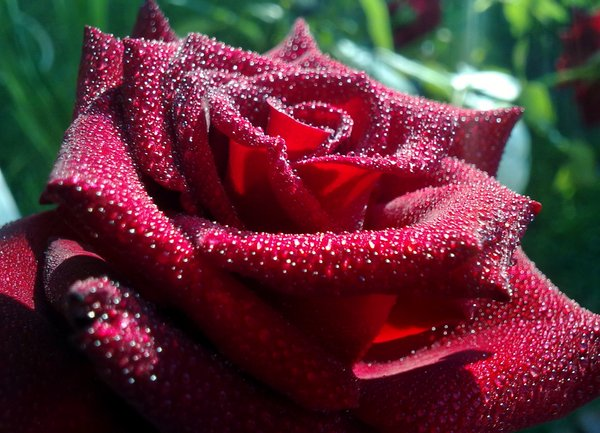 gorgeous-red-rose