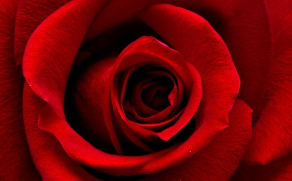 romantic-red-rose
