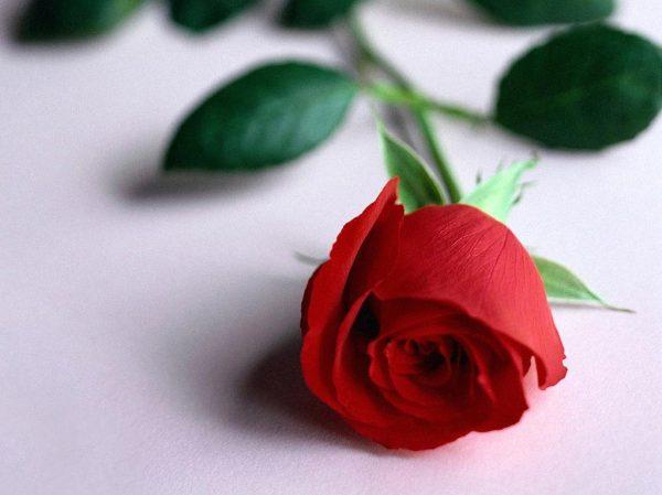 romantic-rose
