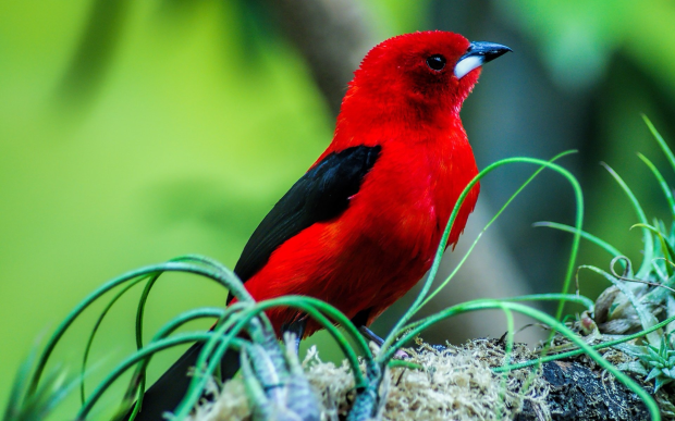 red and black color bird awesome photo