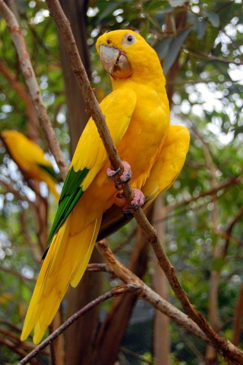 yellow green parrot