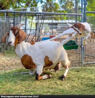 funny goat photos