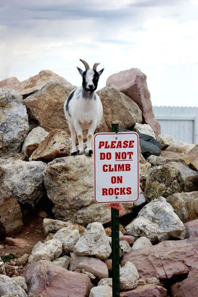 funny mountain goat pictures