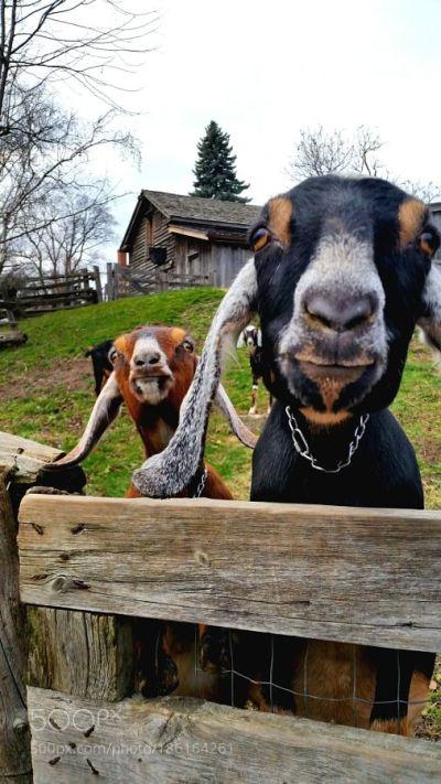 goat farm images