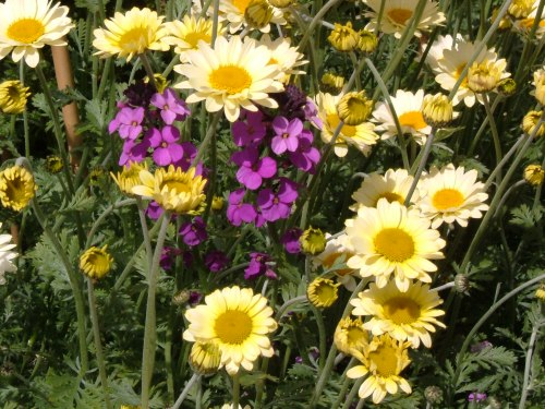 Anthemis tinctoria 'Mrs E C Buxton' and the perennial wallflower, E A Bowles