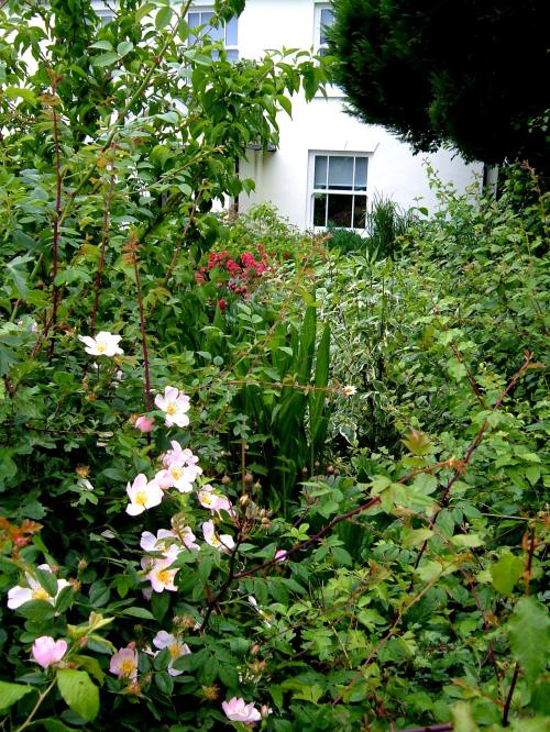 A secret corner with Rosa Canina, and Centranthus in the background