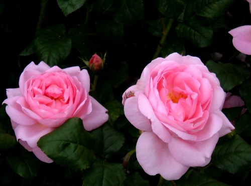 Rose 'Scepter'd Isle', a David Austin rose