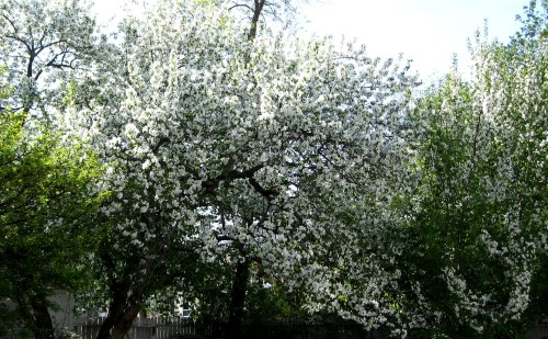 Crabapple Tree in full bloom