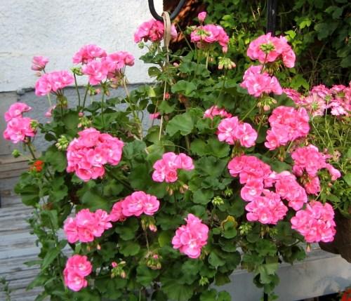 14.7.9 Pink geranium, 2