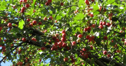 Crabapple in September