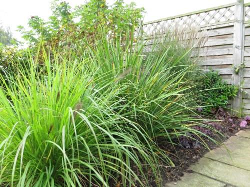 Grass & Libertia