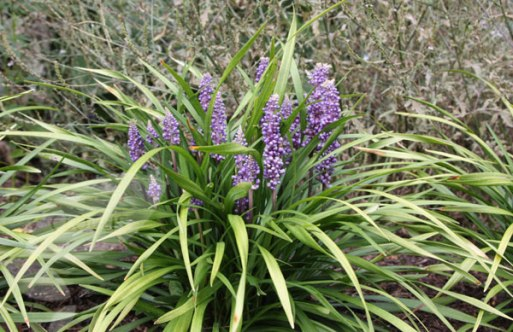 Liriope Muscari (www.crocus.co.uk)