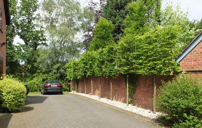 Pleached trees (www.instahedge.com)