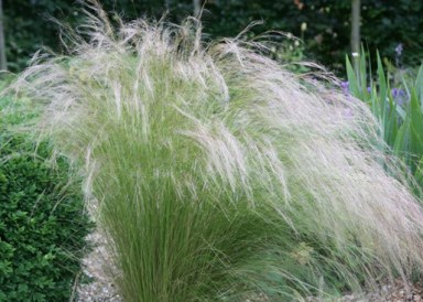 Stipa Tenuissima (www.crocus.co.uk)