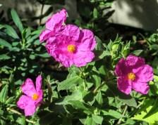Cistus x Argenteus 'Silver Pink'