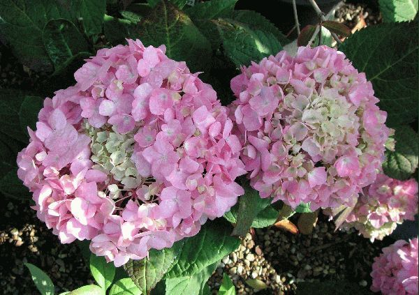 Hydrangea Macrophylla 'Endless Summer' (www.the potted garden.co.uk)
