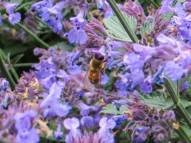 Bees in the Nepeta