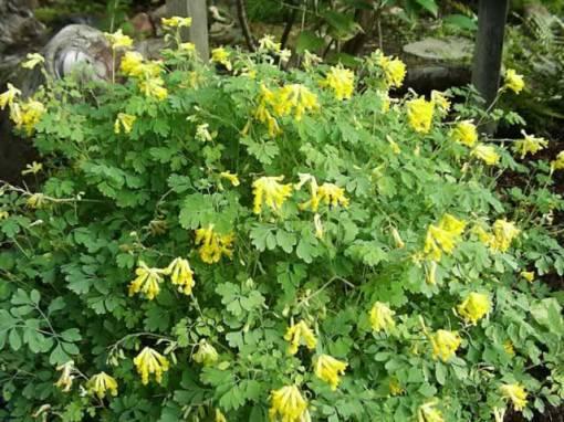 Corydalis Lutea (www.thegardenhelper.com)