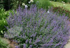 Nepeta 'Walkers Low' (www.crocus.co.uk)