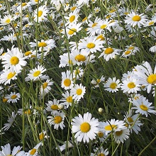 Oxeye Daisy (www.naturescape.co.uk)