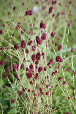 Sanguisorba (www.crocus.co.uk)