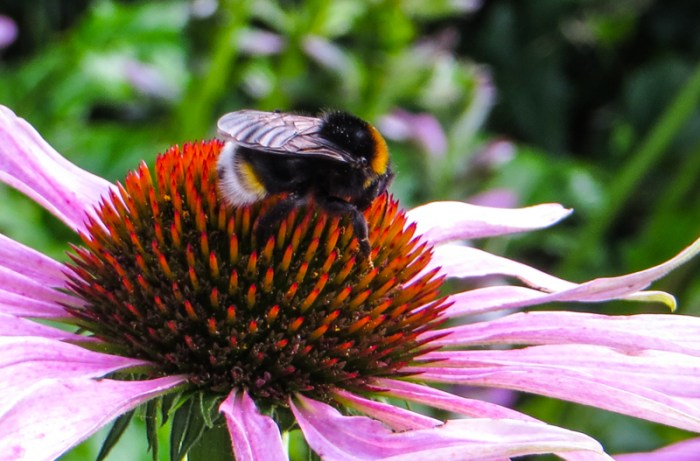Bumblebee on the echinacea