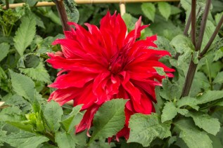 Enormous red dahlia - don't know the name