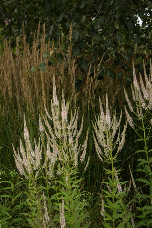 Calamagrostis 'Karl Foerster' & Veronicastrum