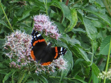 Red Admiral at Pensthorpe
