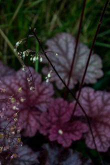 Heuchera 'Raspberry Smoothie' flowers