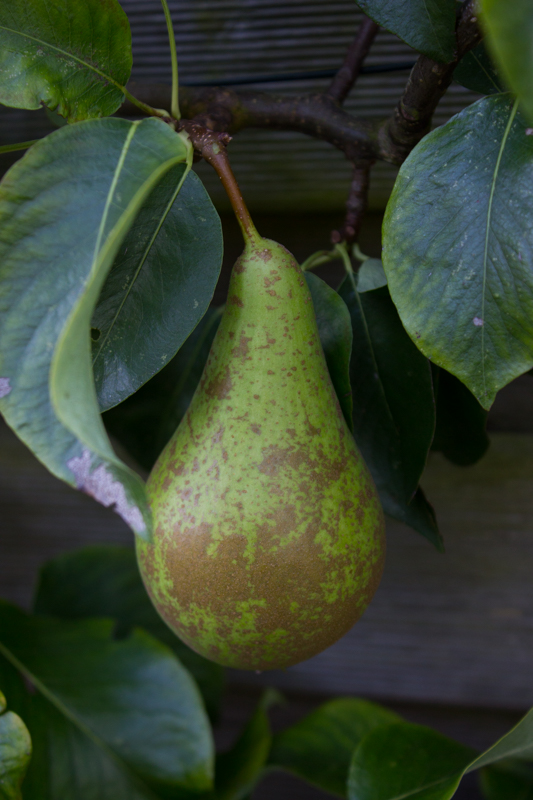 One of only four pears!