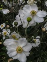 Japanese Anemone 'Honorine Jobert'