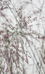 Molinia Caerulea 'Transparent'