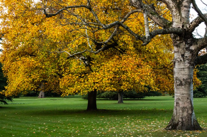 The Tulip Trees in Greenwich Park