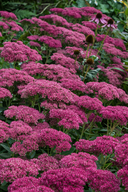 Sedum 'Autumn Joy""